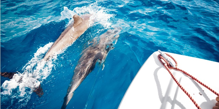 Dolphins swimming in the crystal-clear sea alongside a boat